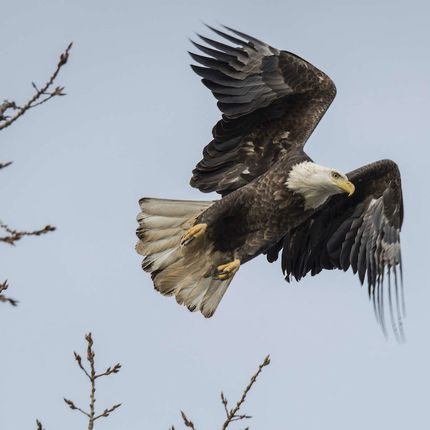 Bald eagle in Osceola, Indiana.(Photo by Barbara Johnston/University of Notre Dame)